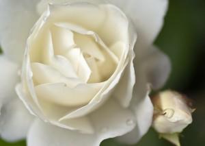 rose03m[1]