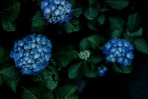 KAZ863_aruasanoajisai-thumb-815xauto-18359[1]