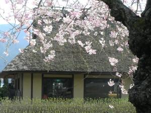 お菓子の里・篠山市茅葺古民家とさくらP4097250